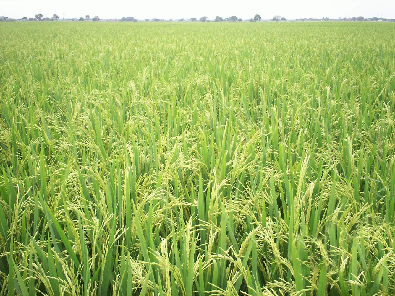 proceso de producción agrícola con cultivo de arroz en etapa de maduración, ubicado en Nobol, provincia del Guayas Ecuador